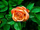 Rosenblüte-7