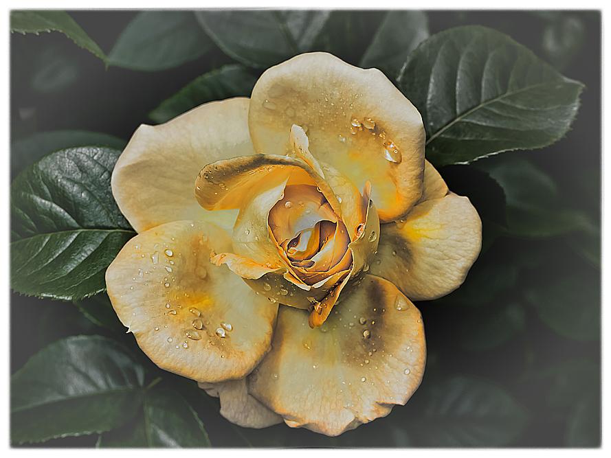 Rosenblüte-8
