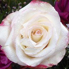 Rosenblüte, fast weiß mit roten Spitzen