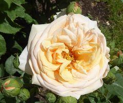 Rosenblüte, gelbrosa