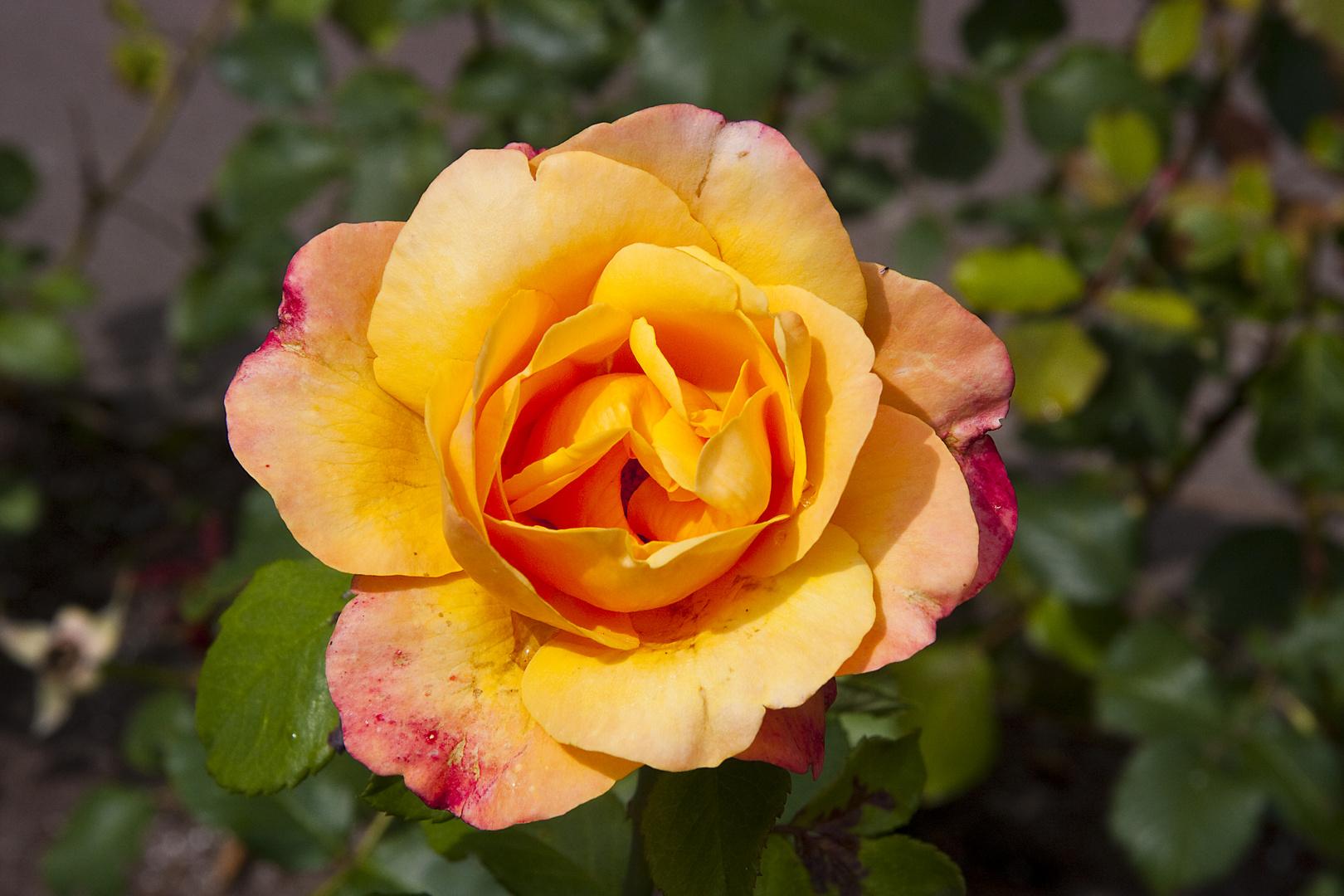 Rosenblüte im Bad Pyrmonter Kurpark