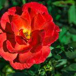 Rosenblüte in der Goldenen Stunde