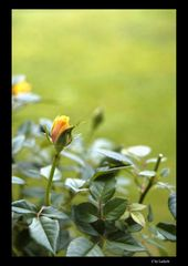 Rosenblüte in gelb