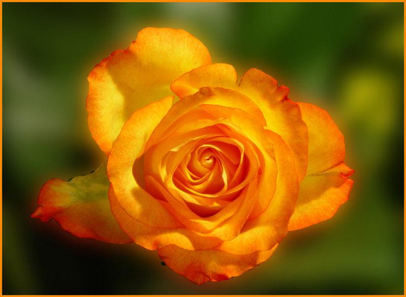 Rosenblüte- in Szene gesetzt