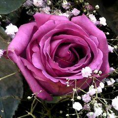 Rosenblüte, magenta-Krapplack