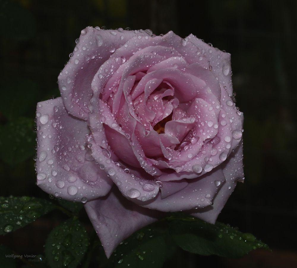 """Rosenblüte """"Mainzer Fasnacht"""" nach dem Regen"""