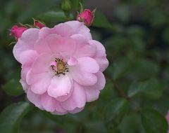 Rosenblüte, offen, ohne Blitz