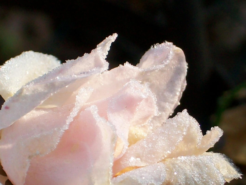 Rosenblüte, schön bereift