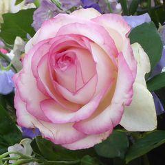 Rosenblüte, zart, weißlila