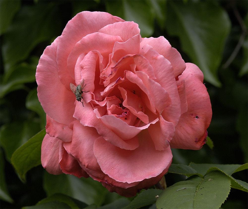 Rosenblüte.....achter Tag