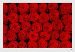 Rosenblüten #2