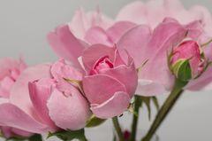 Rosenblüten diagonal