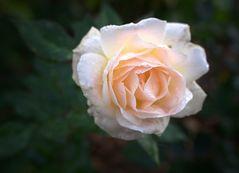 Rosenblüten im Dezember - Rosengarten der Kurfürstlichen Burg Eltville