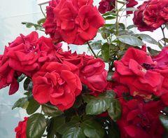 Rosenblüten, zinnoberrot