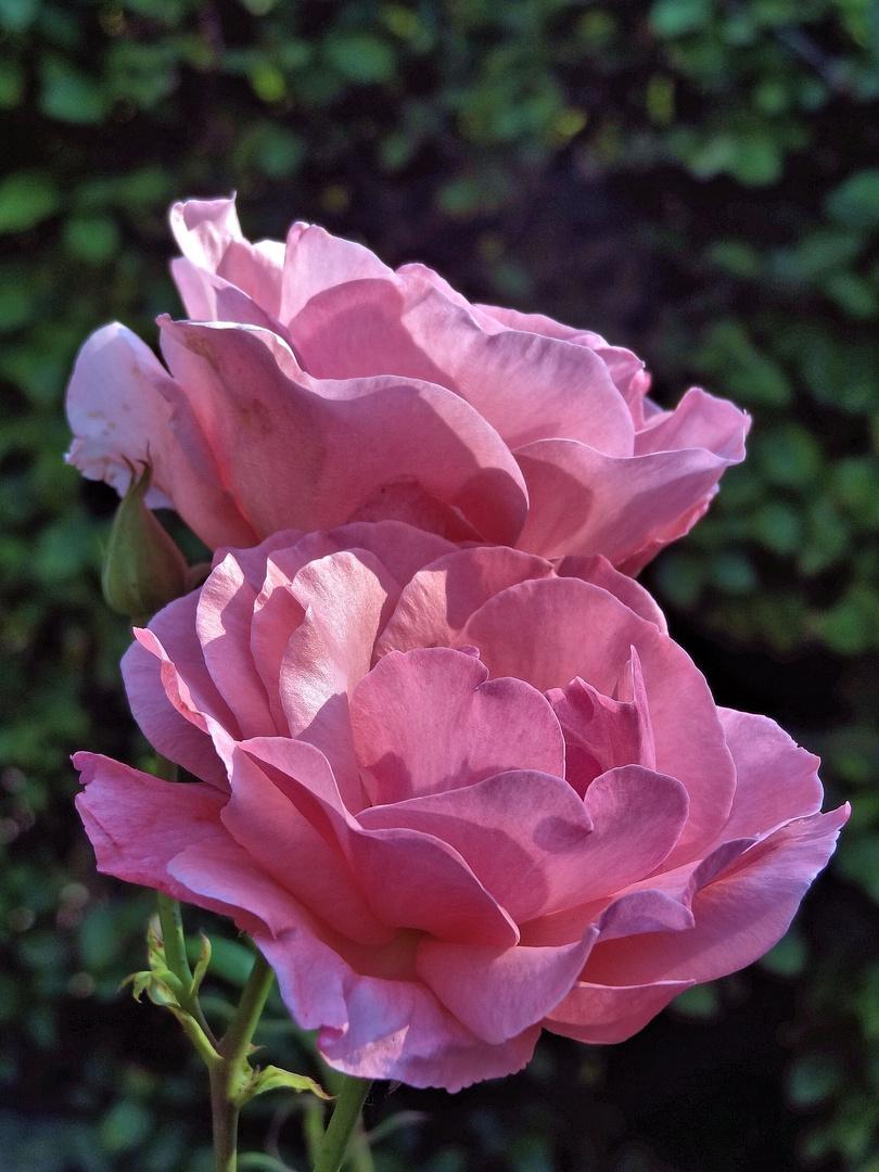 rosendoppel