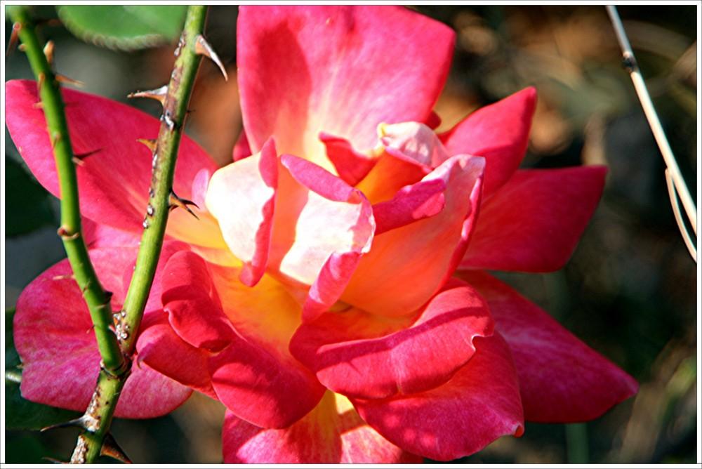 RosendornenDornenrose