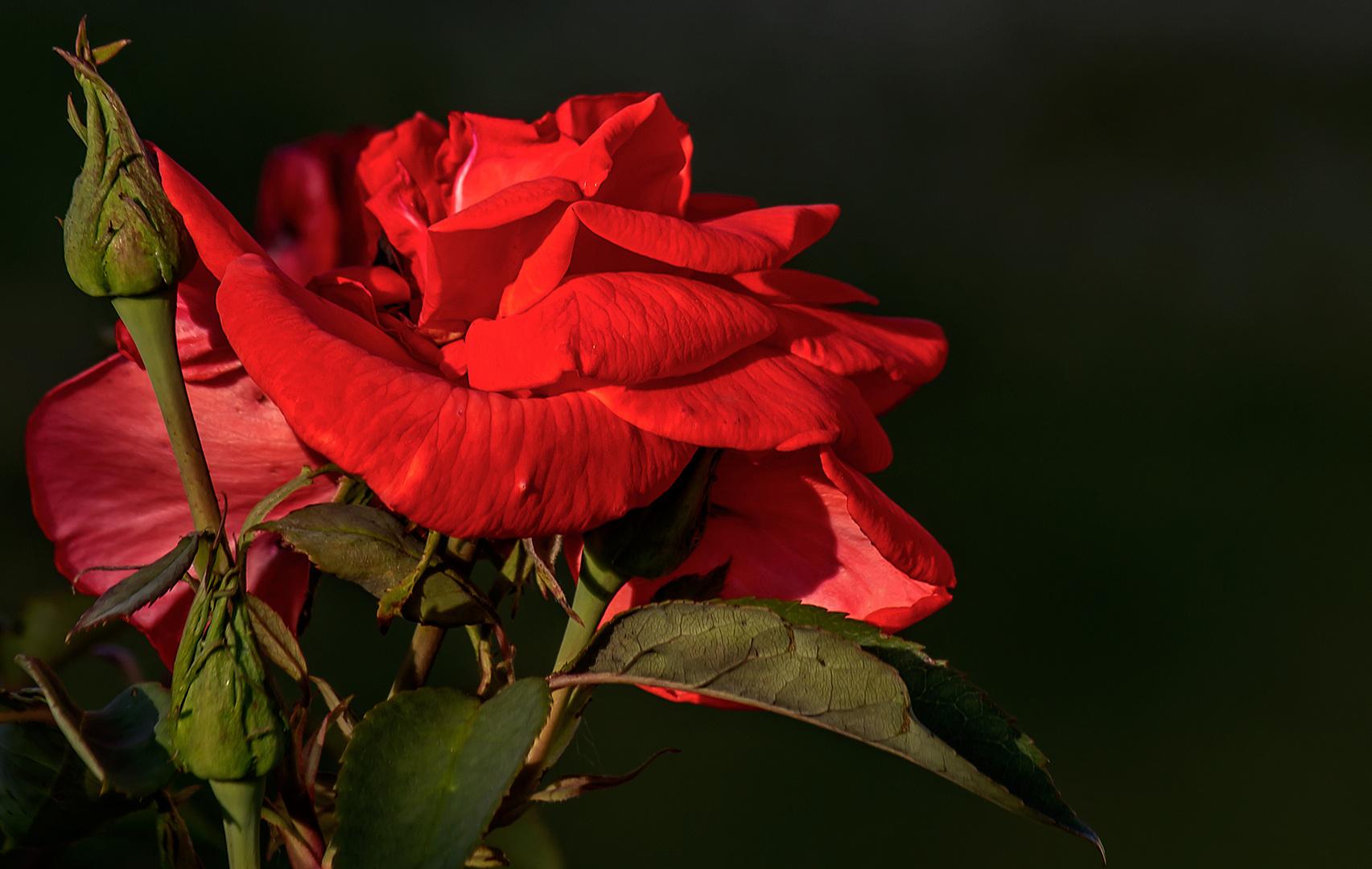 Rosenfoto aus dem Sommer.