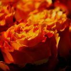 Rosenfreude am Abend