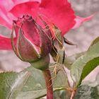 rosengäste
