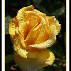 Rosengrüße 1
