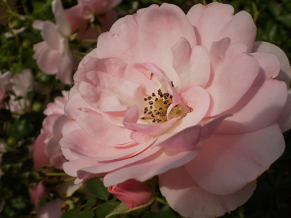 Rosengrüße