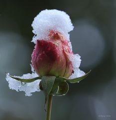 Rosenknospe im ersten Schnee am 1. Dezember