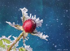 Rosenknospe im Schnee