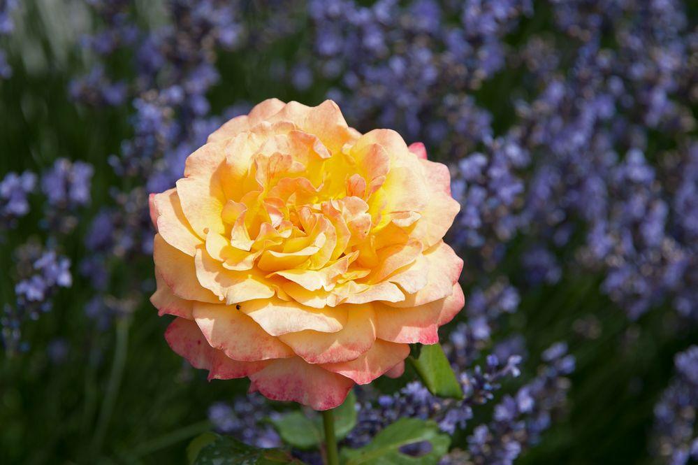 Rosenkönigin im Lavendelbett