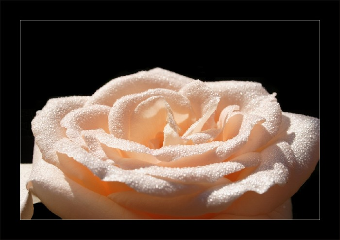 Rosenlandschaft
