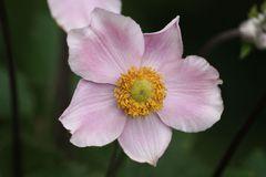 Rosenmontagsblümchen
