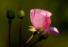 Rosenmorgen