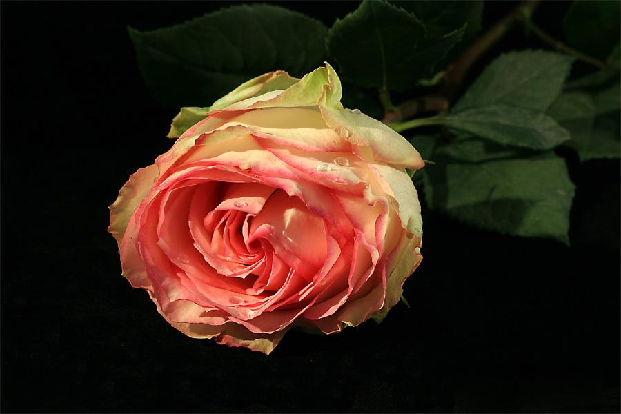 Rosenportrait