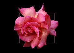 Rosenportrait # Retrato de una rosa