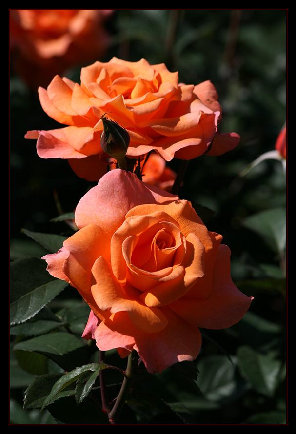 Rosenpracht auf der Insel Mainau