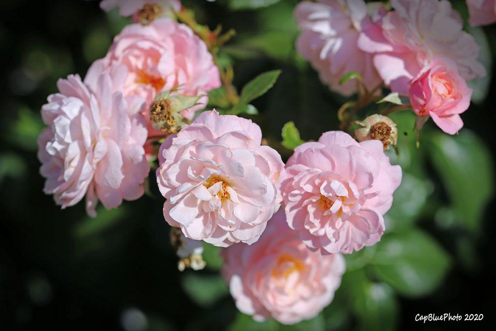 Rosenpracht im Rosengarten Beutig bei Baden-Baden
