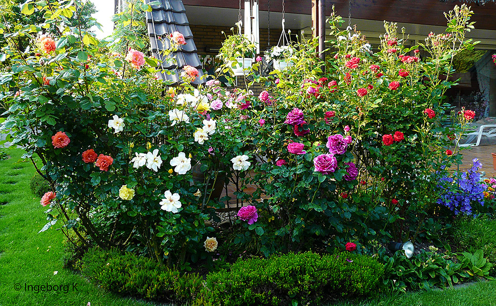Rosenpracht - trotz Regen