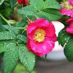 Rosenregen-Regenrosen?