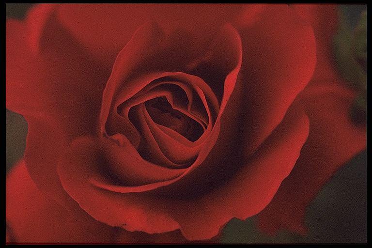 rosenrot und . . .