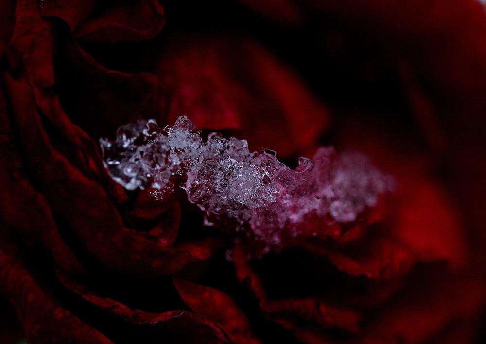 Rosenschnee für Charité