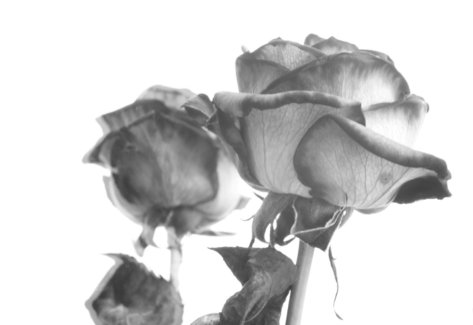 Rosenspiegelung