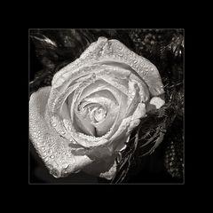 rose_n_stolz