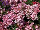 rosenteppich