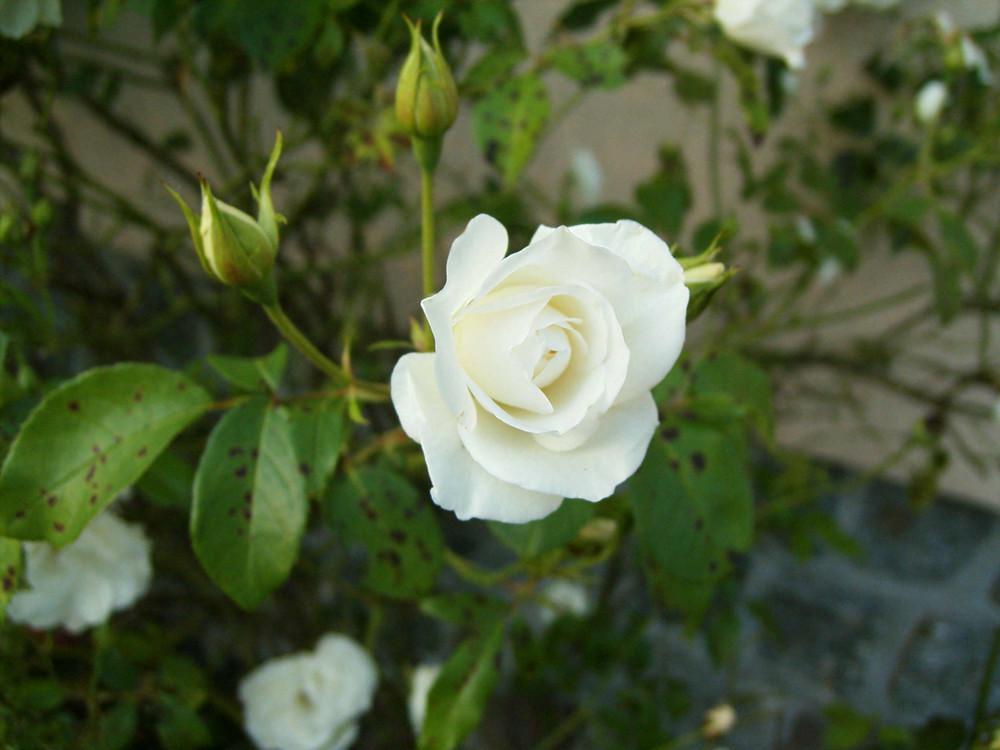 Rosenträume_02