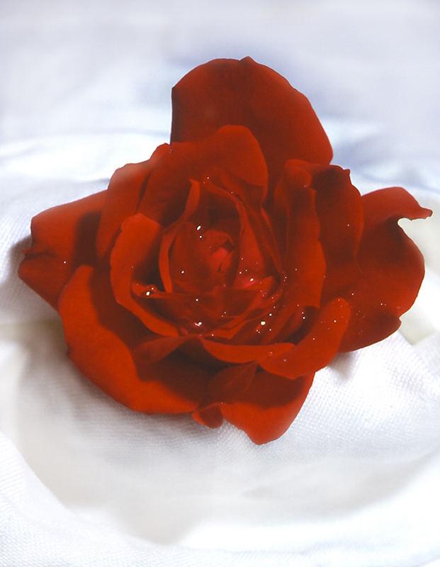 Rosenwolke