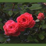 Rosenzeit...