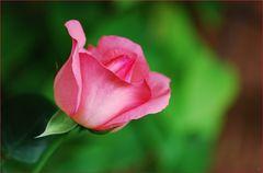 Rosenzeit # Tiempo de rosas