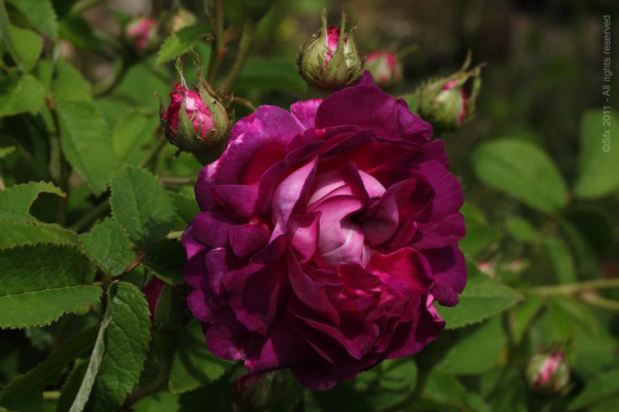Roseraie de Berty Series - Ardèche - (B)