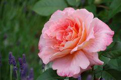 Rose/Rosa