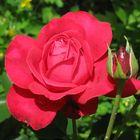 rose[s]