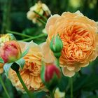 Roses)